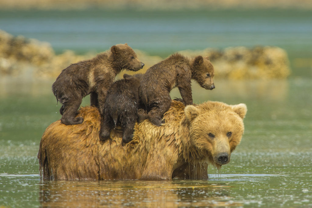 K2_Grizzly_Mother_Showing_Spring_Cubs-1024x683