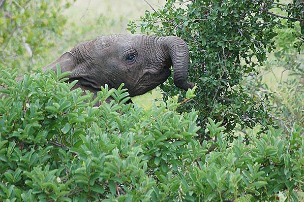 Elefantflokken som spiser Marullafrukt
