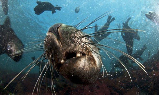 Å svømme med seler