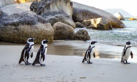 På stranden med Pingviner i Sør-Afrika