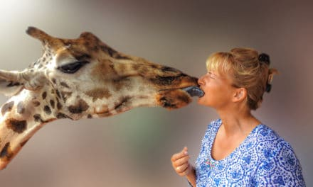 Tungekyss med giraff i Nairobi, Kenya!