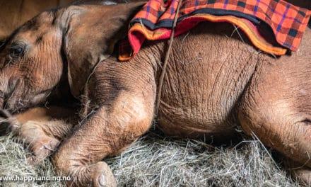 Verdens beste elefant barnehjem, Nairobi, Kenya